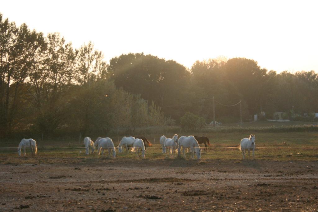Pignon flock